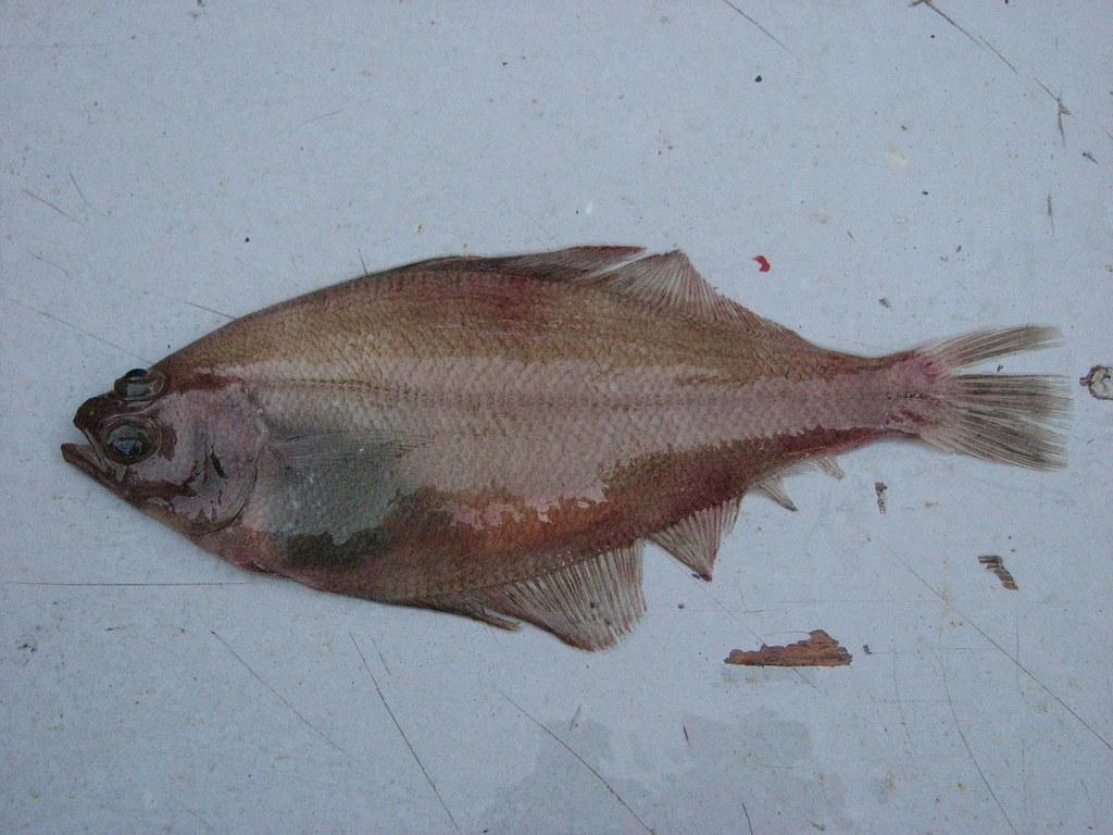 Pacific Sanddab (Citharichthys sordidus)