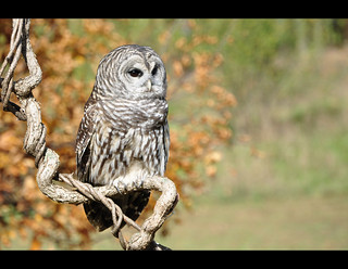 Barred Owl~