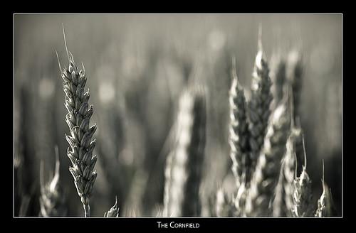 blackwhite cornfield wheat badradkersburg