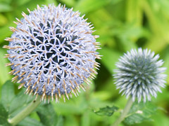 dandelion(0.0), silybum(0.0), flower(1.0), thistle(1.0), plant(1.0), macro photography(1.0), wildflower(1.0), flora(1.0), produce(1.0), close-up(1.0),