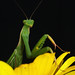 Praying mantis / Mante religieuse by Eric Bégin