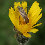 lucernapoloska - Adelphocoris lineolatus