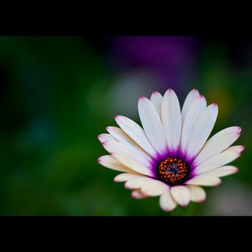 pink white flower macro purple bokeh illfollowthesun