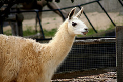 alpaca(0.0), wildlife(0.0), animal(1.0), zoo(1.0), mammal(1.0), llama(1.0), fauna(1.0), vicuã±a(1.0), guanaco(1.0),