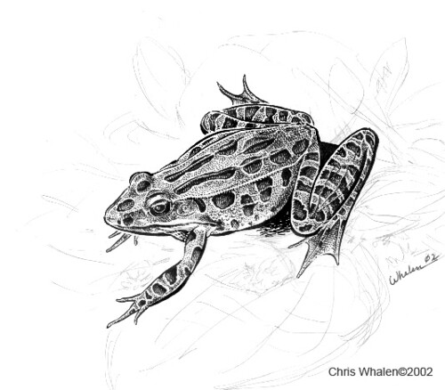 Southern Leopard Frog Drawing Leopard Frog | by Chris Whalen