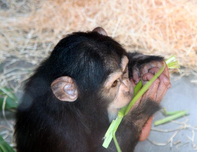 Baby Chimpanzee   Flickr - Photo Sharing