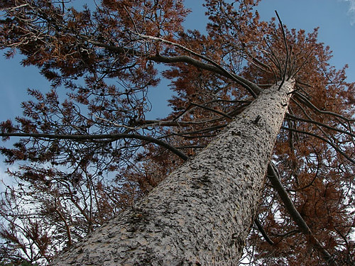 A Tree Destroyed by Mountain Pine Beetle