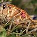 plains lubber grasshopper (brachystola magna) by Mundo Poco