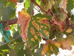 Grapevine w Pierces Disease