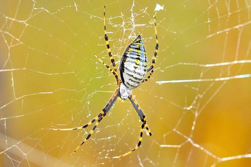 park creek garden spider kansas wichita banded chisholm chisholmcreekpark