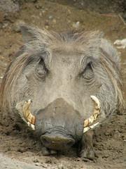 peccary(0.0), domestic pig(0.0), horn(0.0), animal(1.0), wild boar(1.0), pig(1.0), fauna(1.0), pig-like mammal(1.0), warthog(1.0), wildlife(1.0),