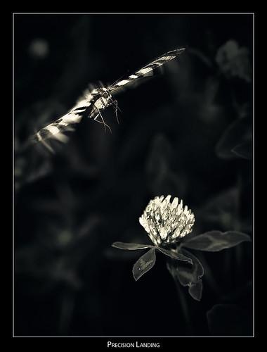 butterfly landing clover