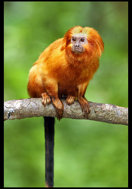 golden lion tamarin | Flickr - Photo Sharing!
