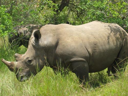 rhino_2