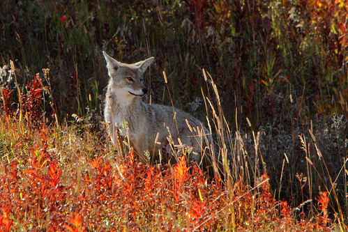 Coyote (Canis latrans) in Autumn grasses