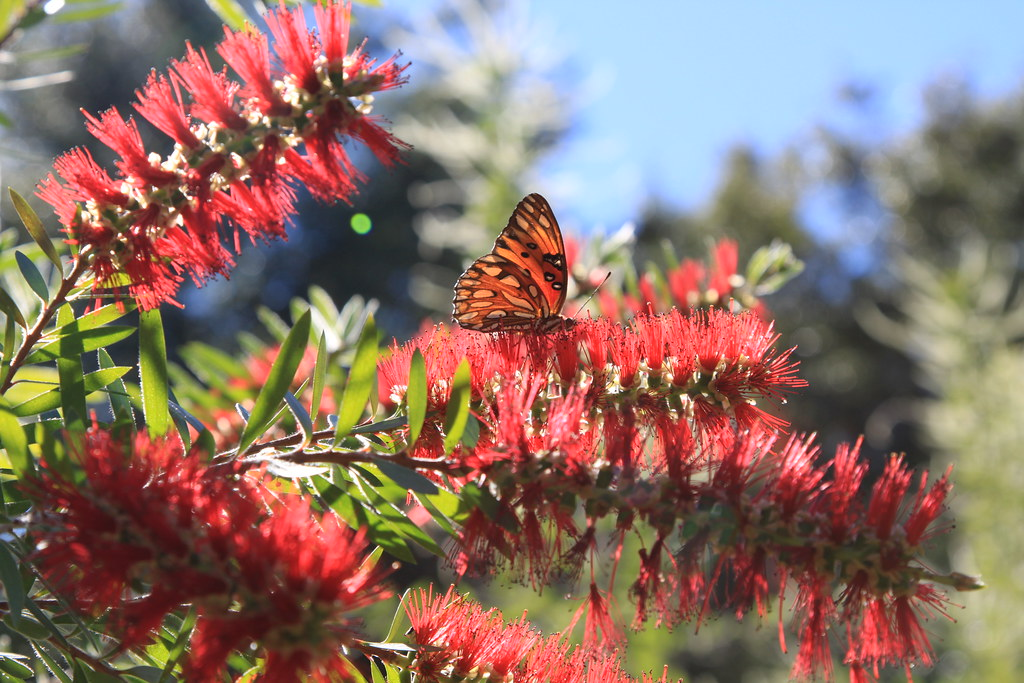 Gulf Fritillary on Bottle Brush