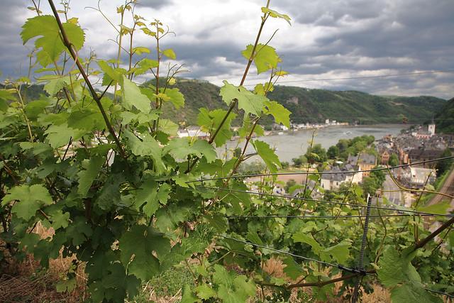 Rhine grapes