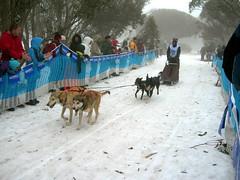 1090115147 0925b43e27 m dog sledding??