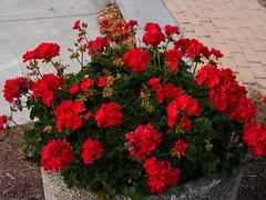 annual plant, shrub, flower, red, plant, floristry,