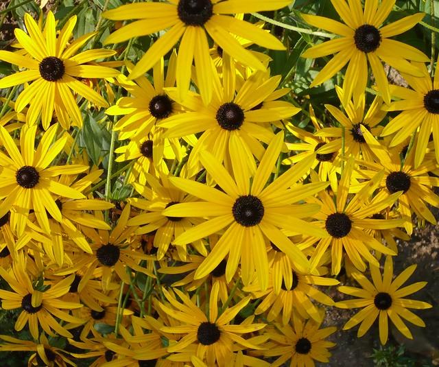 gelber sonnenhut black eyed susan flower gelb schwarz commonly called coneflowers and. Black Bedroom Furniture Sets. Home Design Ideas