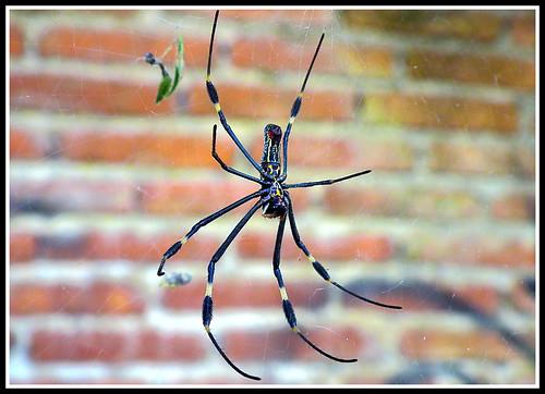 Spider Nephila Clavipes, Araña de Seda Dorada, Golden silk orb-weaver, Hembra, Female