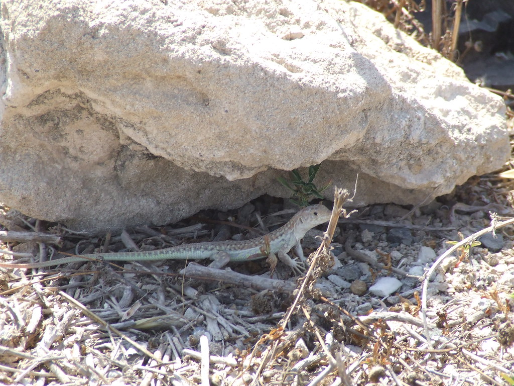 Lizard hiding under rock