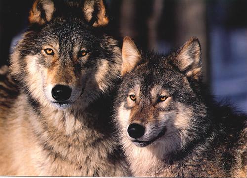 Loba Y Lobo Adultos Hermosos Juan Luis Gs Flickr