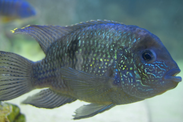 Blue Acara Male Flickr - Photo Sharing!
