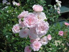 blossom(0.0), floribunda(0.0), rosa wichuraiana(1.0), shrub(1.0), garden roses(1.0), rosa 㗠centifolia(1.0), flower(1.0), plant(1.0), rosa multiflora(1.0), rosa pimpinellifolia(1.0), pink(1.0), petal(1.0),