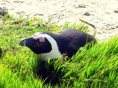 South Africa. Cape Peninsula, African Penguins' Colony