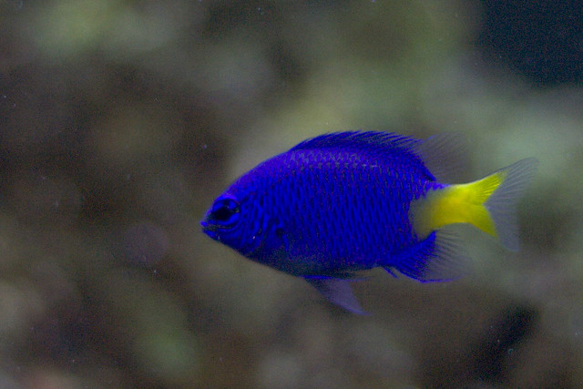 Yellowtail blue damselfish explore lucina m 39 s photos on for Do you need a license to fish in florida