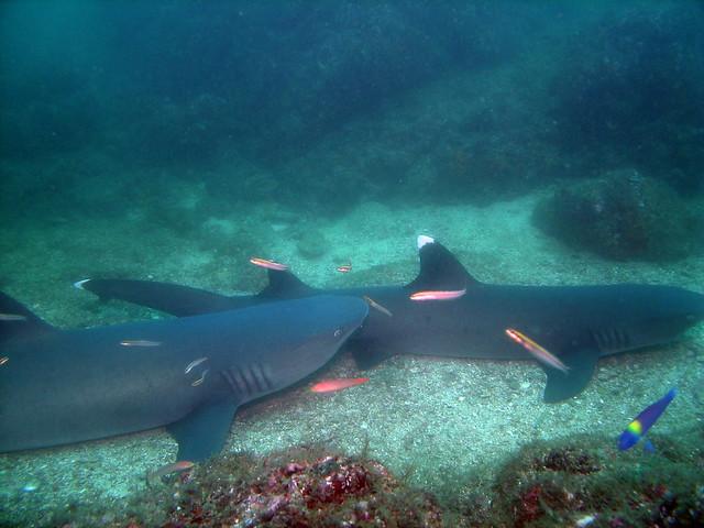Tiburones de puntas blancas