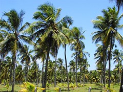 arecales, tropics, borassus flabellifer, palm family, tree, plant, produce, vegetation, plantation,