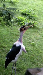 animal, fauna, ciconiiformes, marabou stork, white stork, beak, bird, wildlife,