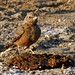 Small photo of Rufous-tailed Lark (Ammomanes phoenicurus)