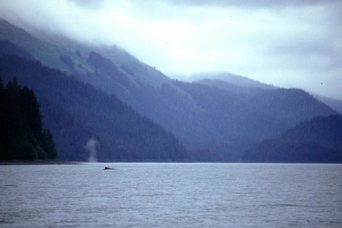 Humpback, Excursion Inlet Alaska