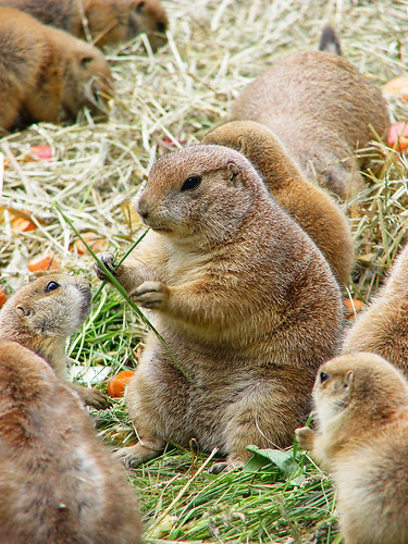 Prairie dogs by Tambako the Jaguar