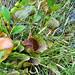 Pitcher Plants (Sarracenia purpurea)