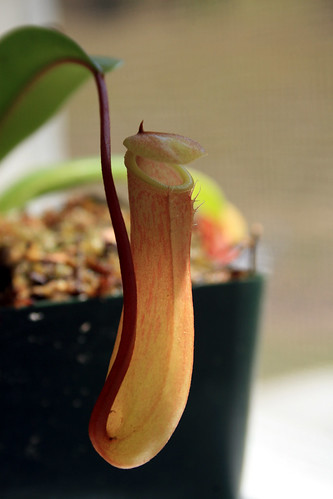 Nepenthes ventricosa
