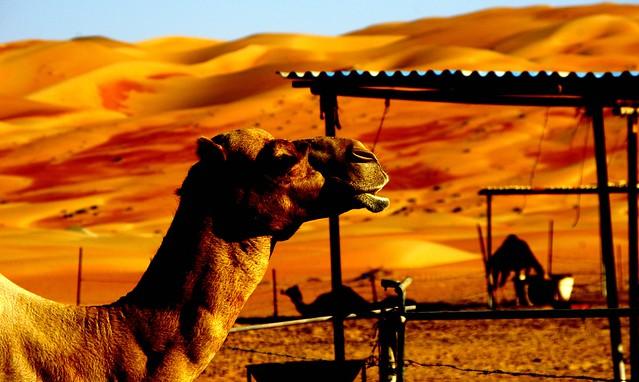 Camel camp, Liwa Desert