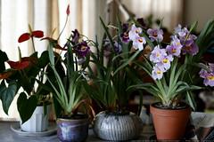 kitchen flowers    MG 1783