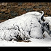 Tibet-Everest-yak-snow