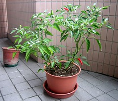 shrub(0.0), flower(0.0), garden(0.0), bonsai(0.0), flowerpot(1.0), plant(1.0), herb(1.0), houseplant(1.0), produce(1.0),