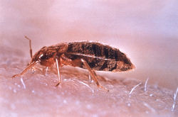 Look out for bed bugs before end of tenancy cleaning is arranged
