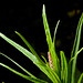 Pogostemon yatabeanus Flower