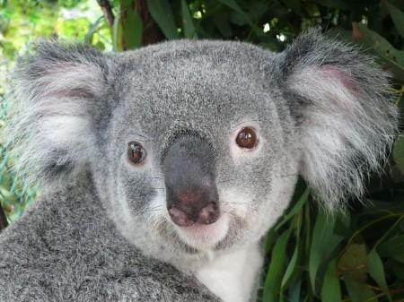 Koala Portrait - Phasc...