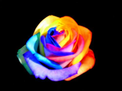 rose arlequin