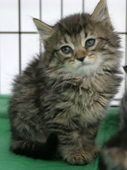 domestic long-haired cat, animal, maine coon, kitten, british semi-longhair, small to medium-sized cats, pet, fauna, siberian, cat, carnivoran, whiskers, norwegian forest cat, domestic short-haired cat,