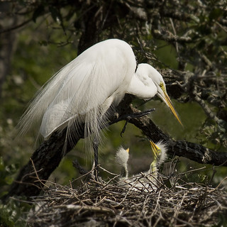 Great White Egret with Chicks
