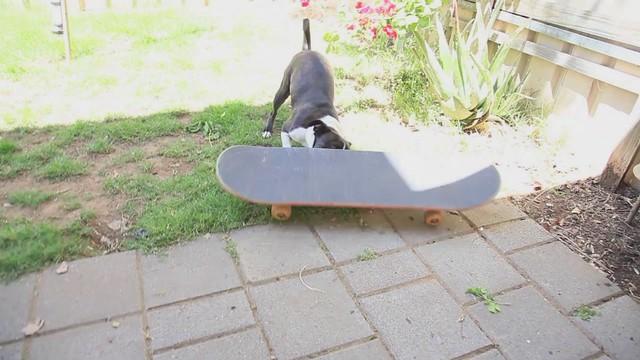 Boston Terrier Freestyler Skater